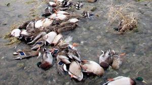 dead ducks china