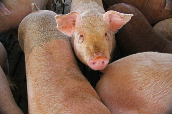 Country of Origin Labeling? Not if Big Pork has its way.